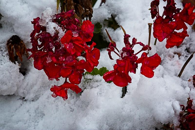 Red Geranium in the Snow