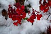 Red Geranium in the Snow