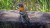 Rick's POTD - Black-Headed Grosbeak