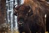 American Bison (aka Buffalo)