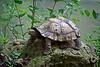 Serrated Hinge-Back Tortoise