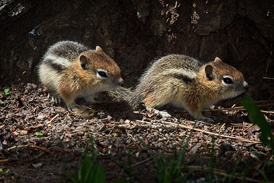 Baby Ground Squirrels