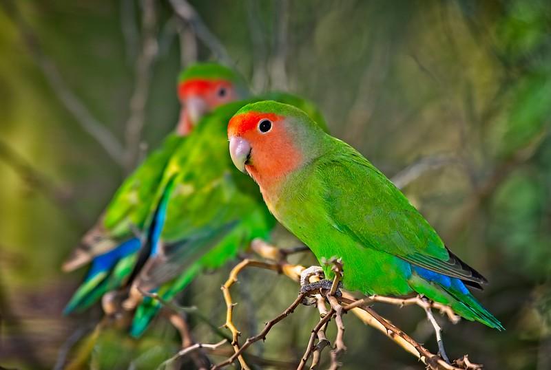 Lovebirds, Peach-Faced