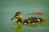 Rick's POTD  -  Mallard Duckling