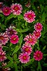 Zinnia - Double Zahara Raspberry Ripple