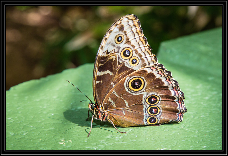 Butterfly - Common Buckeye