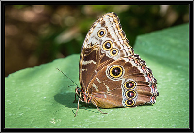 Butterfly - Common Buckeye
