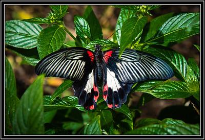 Butterfly - Scarlet Mormon, Swallowtail