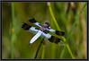 Whitetail Skimmer Dragonfly [Plathemis Lydia], Male