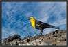 Yellow-Headed Blackbird, Male