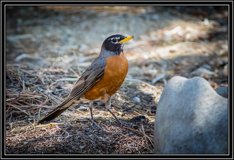 American Robin, Adult