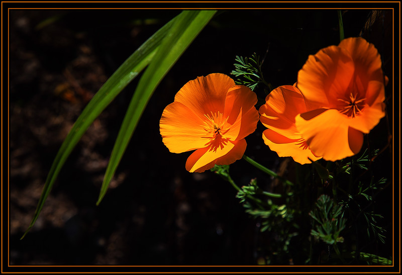 Gold Poppies