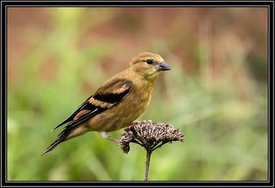 American Goldfinch - Juvenile