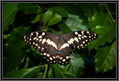 Lime Butterfly (Papilio demoleus)