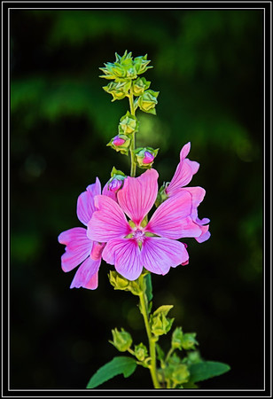 Hollyhock Maybe