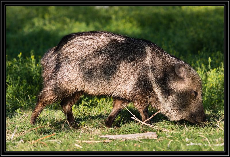 Chinese New Year of the Pig - aka Javelina