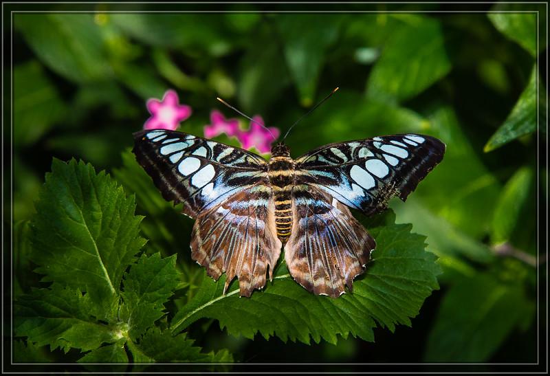 Butterfly - Clipper