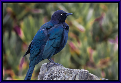 Brewer's Blackbird, Male