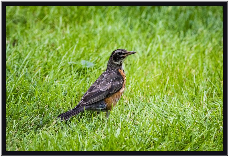 Robin Juvenile
