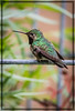 Ruby-Throated Hummingbird - Male