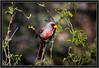 Desert Cardinal