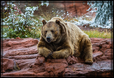 Brown Bear (aka Grizzly Bears)