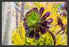 """Aeonium urbicum """"Rubrum"""""""