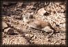 Squirrel, Round Tailed