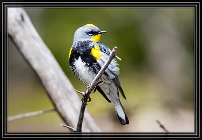 Warbler, Yellow-Rumped