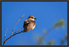 Vermilion Flycatcher - Female