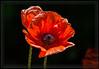 Orange Scarlet Poppy
