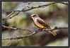 Vermilion Flycatcher - Female