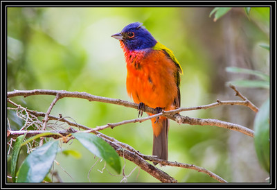 Jekyll Island State Park - Painted Bunting - Male