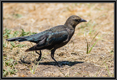 Grackle - Female