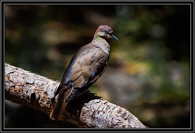 White Winged Dove