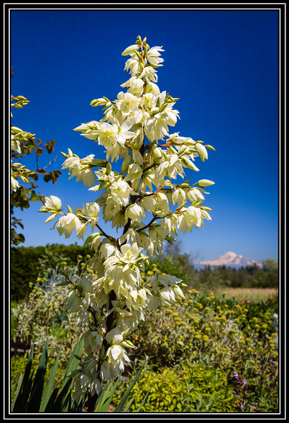 Flowers - Yucca