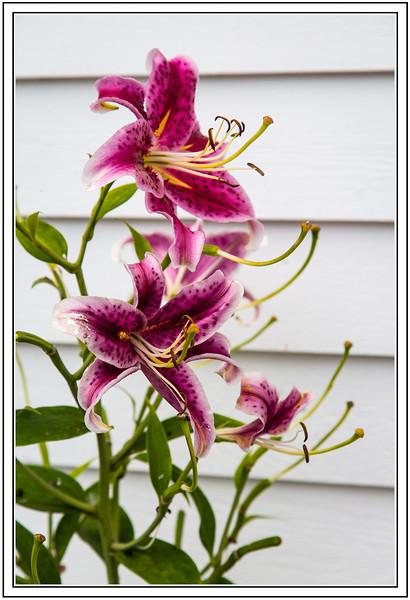 Stargazer Daylilies