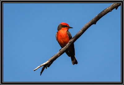 Vermilion Flycatcher - Male
