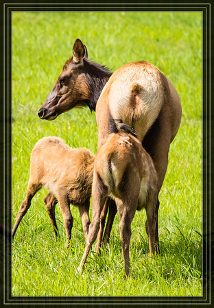 Elk Cow and Calves