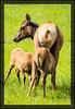 Elk Cow and Calves