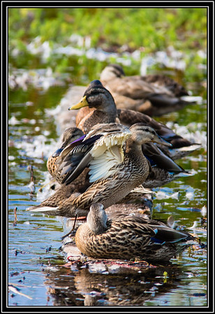Mallard Duck - Female