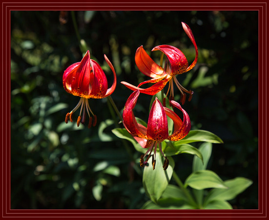 Leopard Lily