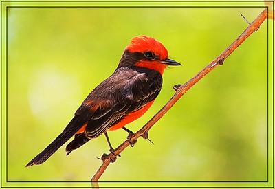 Cottonwood Campground - Vermilion Flycatcher - Male