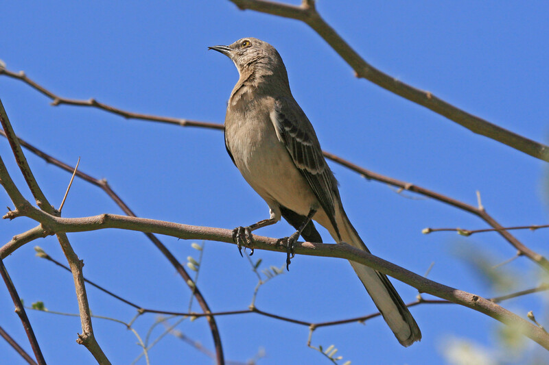 Mockingbird-Northern Adult<br /> <br /> After a couple of hours looking through Birds of  North America and Sibley's Guide to Birds I finally found it.<br /> <br /> Thanks to JY and Curious Camel for their Correct ID.<br /> This was my second Choice...