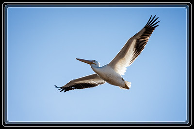 Who would believe that there are White Pelicans in Arizona. My Birds of Arizona book doesn't either. Shot near PIR in Avondale, AZ.     Link to Photo Without Frame