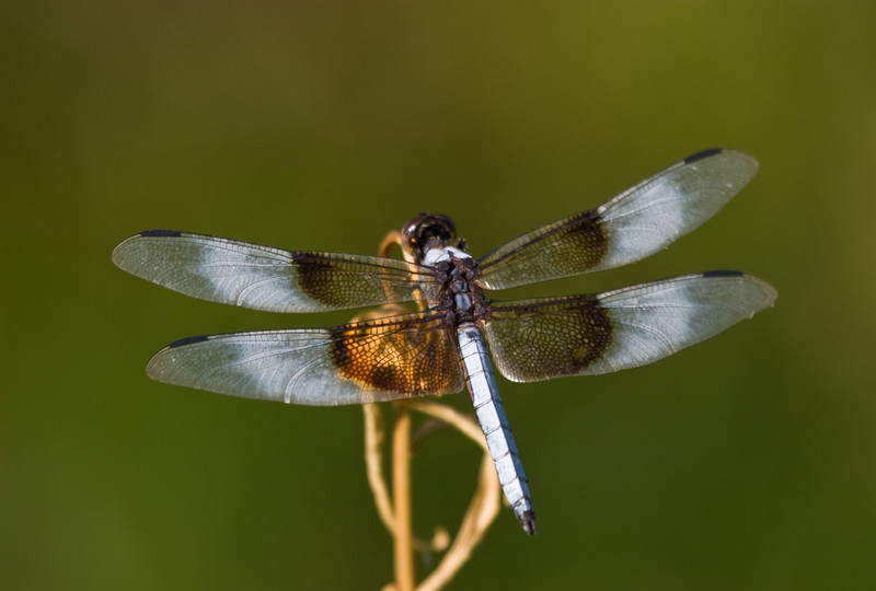 Dragonfly, Widow Skimmer<br /> <br /> Posing for the Camera...