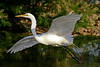 Egret, Great White<br /> <br /> Shot at Phoenix, AZ Tres Rios Wetlands