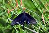 Butterfly, Spicebush Swallowtail
