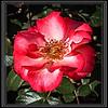 Rose, Sadler's Wells