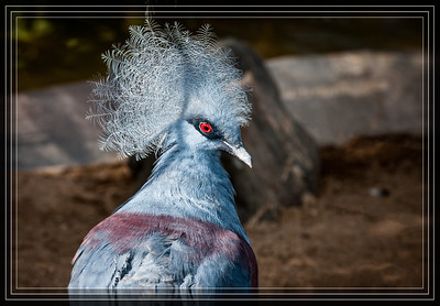 03-07-2014 - Crowned Pigeon       Link to Photo Without Frame    Thank You for Making this Daily Photo  the #1 Pick on 03-07-2014